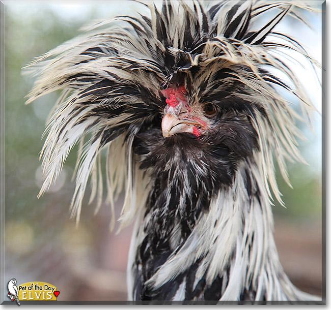 Elvis Polish Crested Rooster September 5 2012