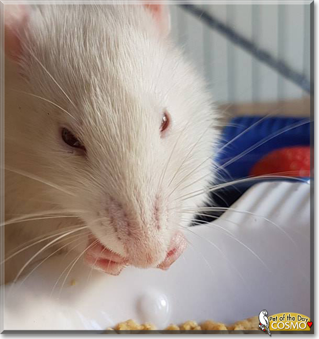 Cosmo the Fancy Rat, the Pet of the Day