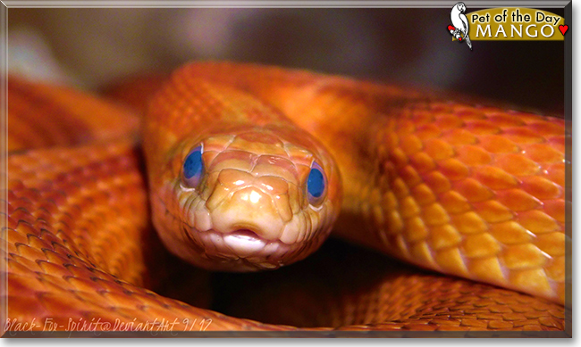 Mango the Cornsnake, the Pet of the Day