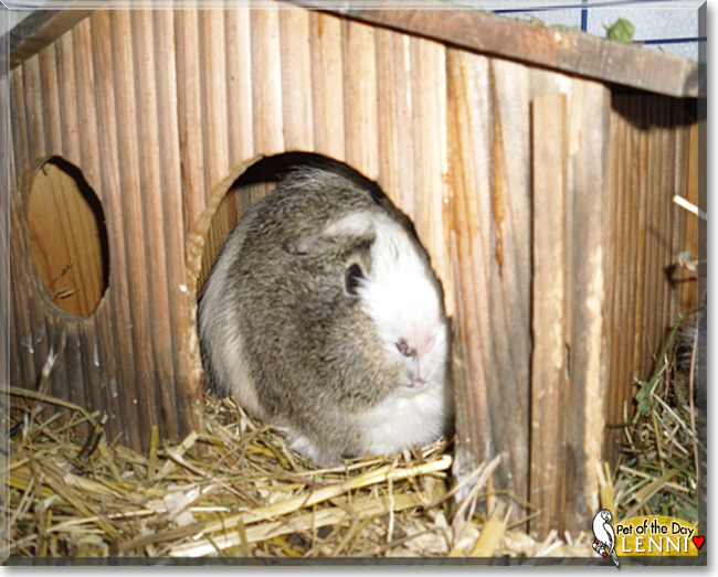 Lenni the Guinea Pig, the Pet of the Day