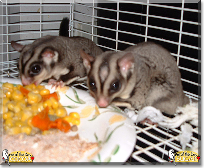 Cocoa and Sugar the Sugar Gliders, the Pet of the Day