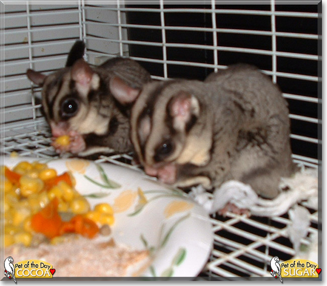 Cocoa and Sugar the Sugar Gliders, the Pets of the Day