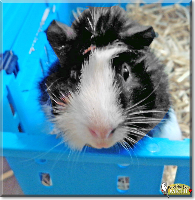 Michi the Guinea Pig, the Pet of the Day