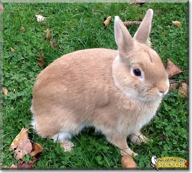 Strolchi the Dwarf mix Rabbit, the Pet of the Day